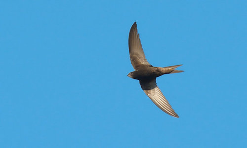 Photo of a swift bird, the inspiration for the new logo for Apple's SwiftUI tool.